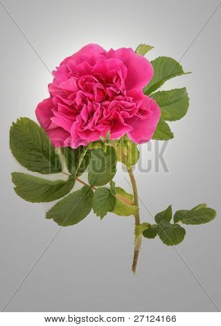 Rugosa rose flower in full bloom over silver grey background.