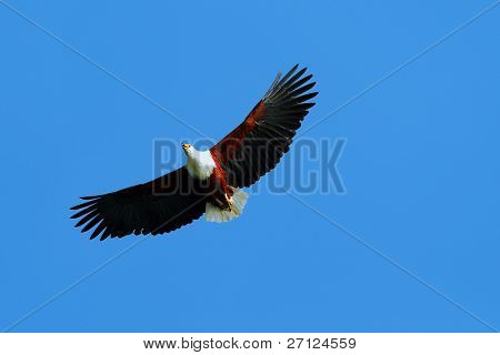 African fish eagle flying up in the blue sky above lake Naivasha. Africa. Kenya