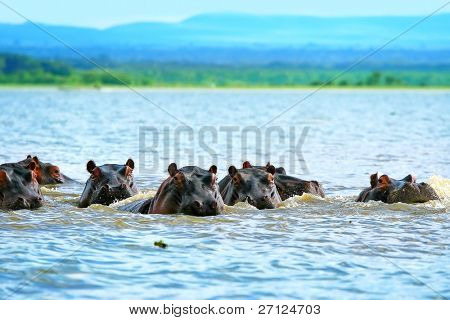 Family of hippos on lake Naivasha. Africa. Kenya