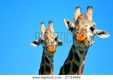 Portrait of mother and baby giraffe. Africa. Kenya. Masai mara