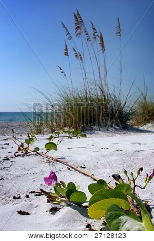 Sea Grape Reaching to the Gulf