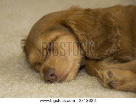 Dachshund Puppy Asleep At Last!