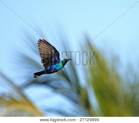 Lesser Blue-eared Glossy Starling In Flight