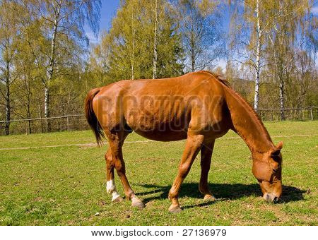 bay horses on green pasture