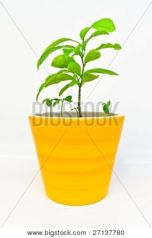 orange tree in a flowerpot