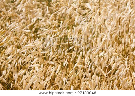 ripen wheat right before harvest