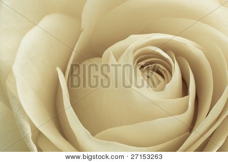 close up of white rose petals