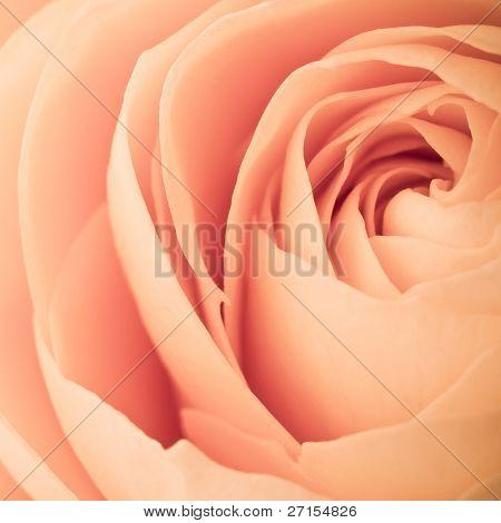 close up of orange rose petals
