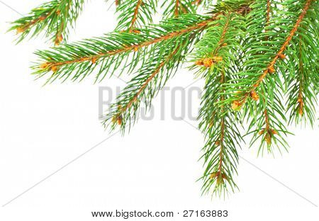 Green pine tree branches isolated on white background