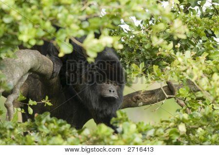 Little Black Monkey