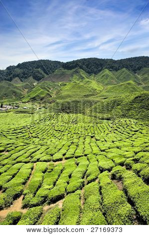 Tea plantations found in Cameron Highlands, Malaysia