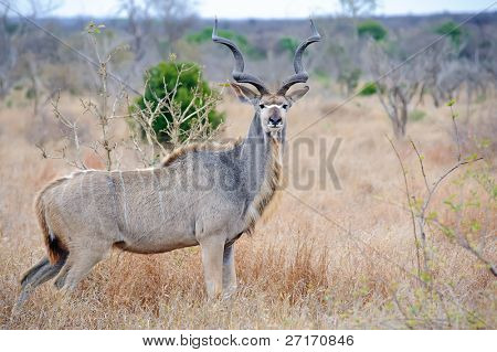 Dominant male Kudu with massive horns