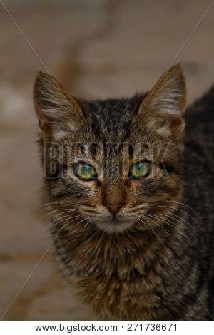 poster of European Cat Portrait. Portrait Of Beautiful Cat. Cute Three Color Cat. European Short Haired Cat. P