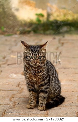 poster of European Cat Portrait. Portrait Of Beautiful Cat. Cute Three Color Cat. European Short Haired Cat. P