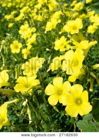 Flores amarillas (Oxalis pes-caprae) en Prado. Especies invasoras.