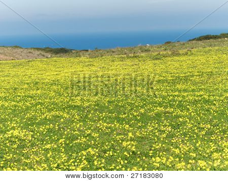 Meadow filled with yellow flowers in spring