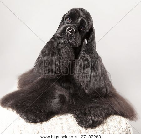 Black Cocker Spaniel with a nice haircut