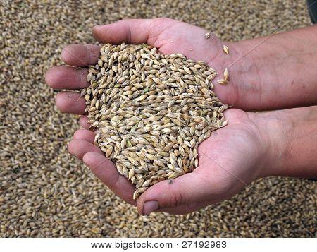 Barley Corns