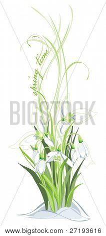 Bunch of snowdrops on the white background
