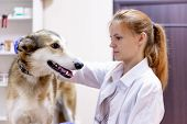Female Veterinarian Examining A Dog In A Vet Clinic poster