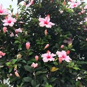 Bush With Large Pink Flowers, Beautiful Flowers, Flowering Bush poster