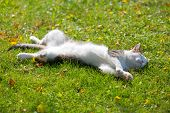 Cute white cat lying resting on its back on fresh green grass with morning sunlight on body poster