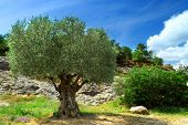 stock photo of olive trees  - Ancient olive tree growing in southern France - JPG