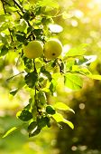 stock photo of apple tree  - Green apples on an apple - JPG