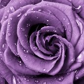 stock photo of rose close up  - close up of violet rose petals - JPG