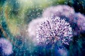 Alium Flower With Dandelion Flower Structure Wit Water Drops. Ma poster