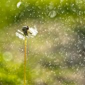 Dandelion Close Up With Water Drops. Nature Green Beautiful Abstract Background. poster