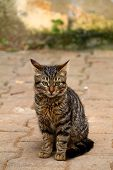 European Cat Portrait. Portrait Of Beautiful Cat. Cute Three Color Cat. European Short Haired Cat. P poster