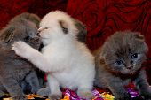 Cute Little British Kittens Are Sitting On The Sofa. The Kitten Hugs And Kisses The Brother, Small P poster