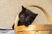 Black Kitten Sitting In A Basket. Kitten, Black, Cat, Basket, Playing poster