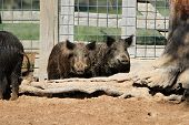 pic of razorback  - Captured feral hogs stand behind a tree stump in their cage - JPG