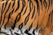 Closeup Real Tiger Skin Texture. Tiger Fur Background Texture Image Background poster