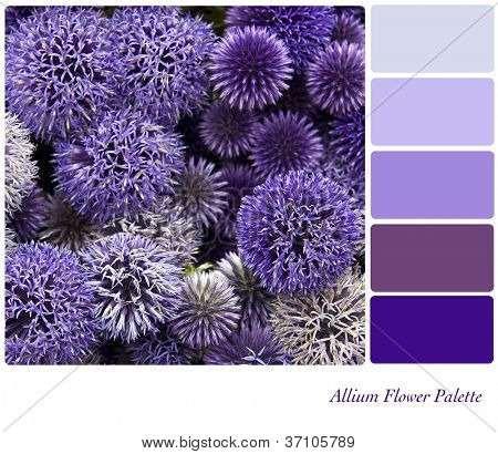 Allium flower background colour palette with complimentary swatches.