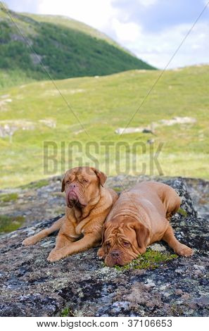 Couple of Dogue De Bordeaux in the mountains, Norway