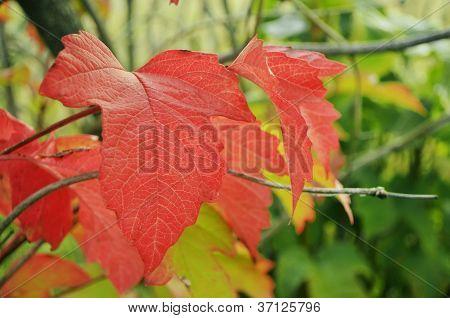 Red Leaf Viburnum.