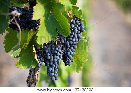 Several Bunches Of Ripe Grapes