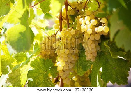Bunch Of Ripe Yellow Grapes