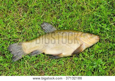 Lake Fish Tench With Orange Eye On Green Grass