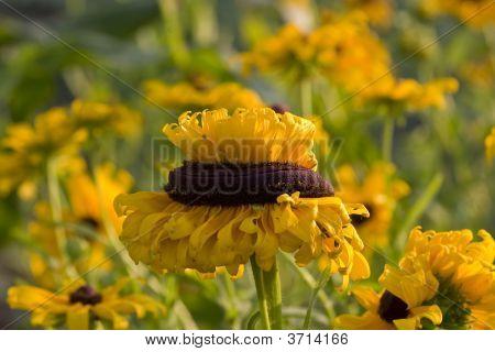 Odd Sunflower