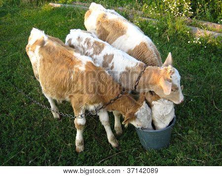 Three calves drink water