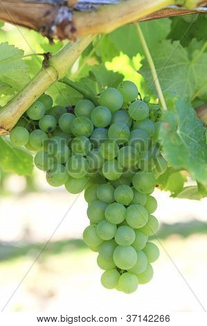 White Grapes Hanging On A Branch