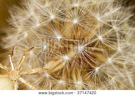 Beautiful Dandelion Flowers