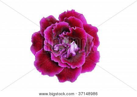 Purple-Pink gloxinia flower