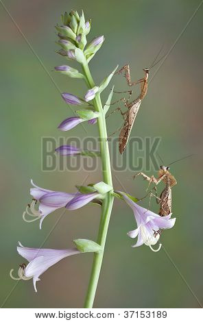Mantis Pair On Flowers