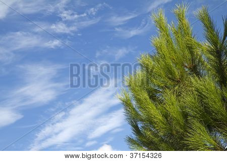 Pine tree under blue sky with clouds