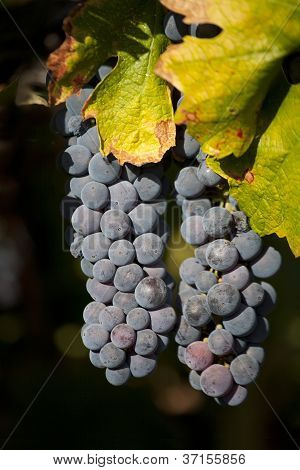 Two Bunches Of Wine Grapes Hanging